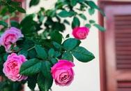 Ngày 20/11 ghé thăm vườn hồng trên sân thượng khoe sắc rực rỡ của cô giáo dạy nhạc xứ Thanh