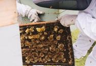 Lọ mật ong bé tý giá 40 triệu đồng được làm từ loại ong gì?
