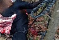 Tái diễn nạn giết trộm trâu bò ở Hà Tĩnh