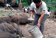 """""""Bão giá"""" thịt lợn: Bán một con thu nửa cây vàng, lợn rừng mỗi con lãi cả chỉ"""
