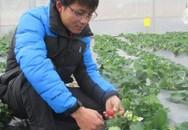 Cất bằng đại học về trồng dâu tây, làm du lịch, lãi 700 triệu/năm