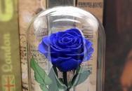 Bông hồng xanh dài gang tay 3,5 triệu: Chồng dám tặng vợ ngày Valentine
