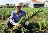 Người trồng hoa Lay ơn lao đao vì giá hoa giảm 1/3 vẫn không có người mua