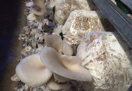 Gái đảm trồng nấm mọc tua tủa, mỗi tháng kiếm 10 triệu đồng