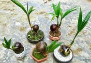 Bonsai dừa độc lạ giá hơn triệu một chậu bé tí