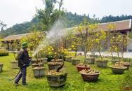 Lễ hội hoa Anh đào - Mai vàng Yên tử 2019 đến hẹn lại về