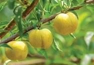 Trồng loại quả bán đắt hơn cả Cherry ở Việt Nam, đếm tiền không ngơi tay