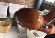 Ốc tu lơn là con gì mà nửa triệu/kg, 6 người ăn không hết?