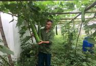Dùng nhà màng trồng bầu canh đẹp như tranh, từ lỗ thành lời