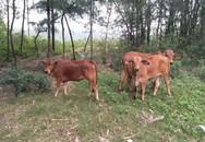 """Ngân sách hỗ trợ hộ nghèo mua bò ở Hoằng Phụ, Huyện Hoằng Hóa (Thanh Hóa): """"Mất"""" gần 2 con bò cho họp bình bầu, xét duyệt?!"""