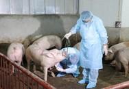 Dịch tả lợn hoành hành ở 7 tỉnh: Tiêu huỷ hơn 4.200 con, chưa biến đổi gen gây bệnh
