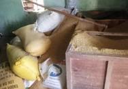 Vụ báo mất 49 cây vàng: Trộm chỉ lục tìm trong đống lúa