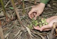 Chàng trai Mông đổi đời nhờ loài cây quý ra quả lổn nhổn dưới gốc