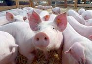 Dịch tả lợn châu Phi có lây sang người không?