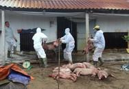 Hải Dương: Bệnh dịch tả lợn châu Phi tiếp tục xuất hiện tại huyện Ninh Giang
