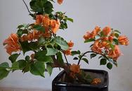 Bộ sưu tập cây hoa giấy bonsai của bà mẹ Quảng Nam
