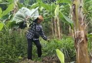 Người phụ nữ 35 năm hái lá chuối rừng mưu sinh
