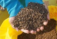 Trồng rau muống lấy hạt từ hộ nghèo vươn lên khá giả
