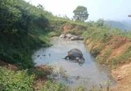 Hòa Bình: 5 con trâu chết bất thường trong vũng nước