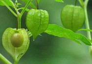 Một loài cây, hai số phận: Ở Việt Nam mọc dại đầy đường, sang Nhật bán trong siêu thị gần triệu đồng/kg