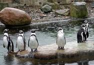 Mất con, đôi chim cánh cụt nổi điên giết chết đồng loại