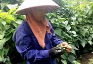 Thu bộn tiền nhờ đem loài cây lạ về trồng trên đồi lổn nhổn đá hộc