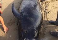 Phát hiện xác cá voi khoảng 1 tấn, cả làng đến thắp hương, chôn cất