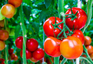Rung cây giúp cà chua trên ban công đậu quả trĩu cành: Nghe lạ đời nhưng nhìn thành quả thì thật khó tin