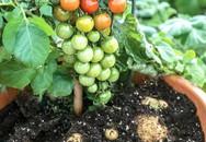 """Lạ đời loại cây cà chua """"đẻ"""" ra khoai tây, ngắm đã mắt thử ăn mới ngất ngây"""