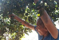 Loài cây ra quả sai như sung, ăn vài hạt khỏe cả người