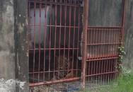 Vụ hổ tấn công người ở Bình Dương: Đã nhiều lần vận động giao nộp hổ nhưng bất thành