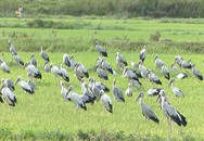 Đàn chim di cư lần đầu xuất hiện ở Quảng Trị