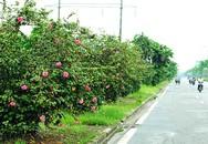 Hà Nội: Độc đáo con đường được phủ màu hồng bởi hoa dâm bụt