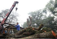 Bao giờ 2 cây gỗ sưa từng được trả giá trăm tỷ ở Hà Nội được bán đấu giá?