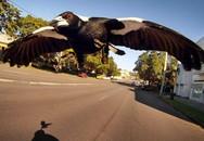 Người đàn ông 76 tuổi chết vì bị chim ác là tấn công ở Australia
