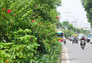 Nhiều đường phố Hà Nội như được khoác áo mới vì được phủ xanh dải phân cách