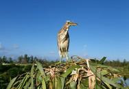 Gỡ chim cò dính bẫy, người phụ nữ ở Hà Tĩnh bị mổ rách giác mạc