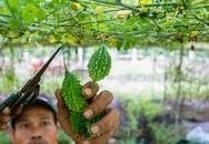 Kiếm 400 triệu đồng mỗi năm nhờ trồng khổ qua rừng
