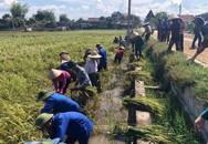 Hà Tĩnh: Hàng nghìn ha lúa vàng ươm gặt về chỉ để... chăn nuôi