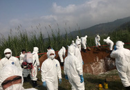Dịch tả lợn châu Phi nghi xuất hiện ở Lào Cai, tiêu hủy hàng chục con lợn