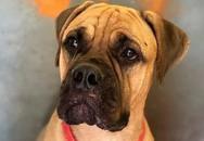 Bị trả về trung tâm kinh doanh thú cưng, chú chó nhảy khỏi tàu và băng rừng hơn 200km trở về với người chủ đã từ bỏ mình