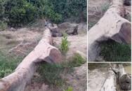 Đi mò ốc, phát hiện cây gỗ quý hàng trăm năm tuổi nằm sâu dưới lòng đất