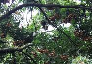Dân Hà thành bỏ hàng chục triệu đồng bao trọn cây nhãn tiến vua hiếm có để tự hái ăn cả mùa
