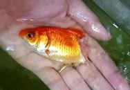Khoảnh khắc cá vàng sống lại thần kỳ dù thối rữa nửa cơ thể