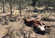 Bò bị rút cạn máu bí hiểm, dân Mỹ nghi do người ngoài hành tinh