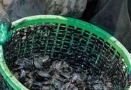 Bắt vẹm đen kiếm tiền triệu mỗi ngày ở ngã ba sông