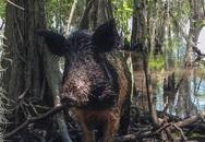 Một phụ nữ bị đàn lợn rừng giết chết ở Mỹ