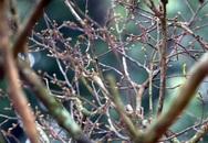 """""""Hoảng hồn"""" với cây hoàng mai thơm nhìn như củi khô giá bằng siêu xe ở Hà Nội"""