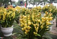 Lan hồ điệp 346 cây, giá 106 triệu cho Tết Canh Tý
