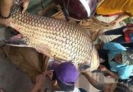 """Xuất hiện cá hô """"siêu to khổng lồ"""" nằm trong sách đỏ ở An Giang được người dân bán với giá khủng"""